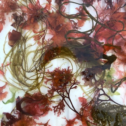 How to press seaweeds, a video guide
